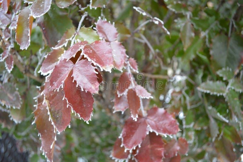 Fringe of frost on Oregon Grape leaves close up stock image