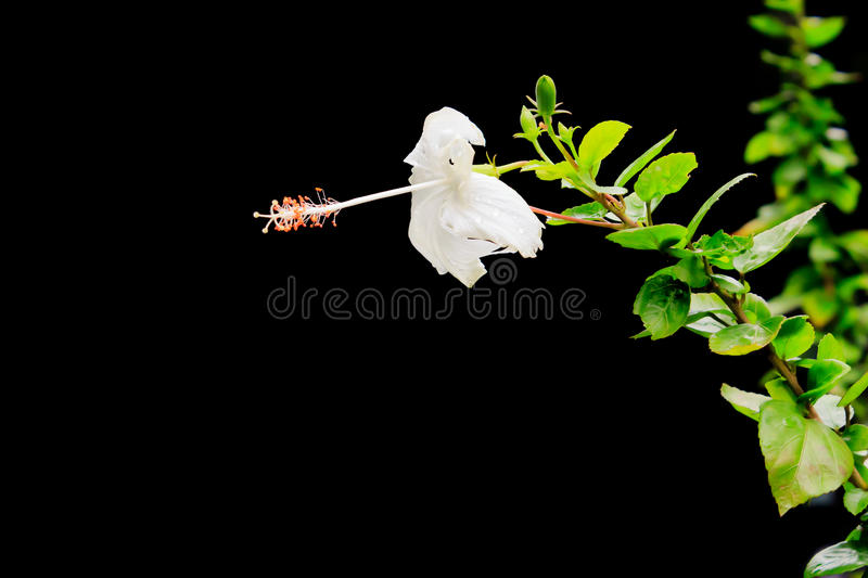 Fringed Hibiscus. Close up of a flower of the Fringed Hibiscus (Hibiscus Schizopetalus) Malvaceae, over a green leaves out of focus background of leaves and royalty free stock photo