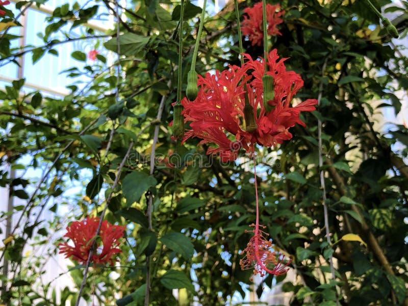 Fringed rosemallow Hibiscus schizopetalus, Japanese lantern, Coral hibiscus, Spider hibiscus, Geschlitzter Eibisch. Koralleneibisch oder Korallen-Hibiskus stock photos