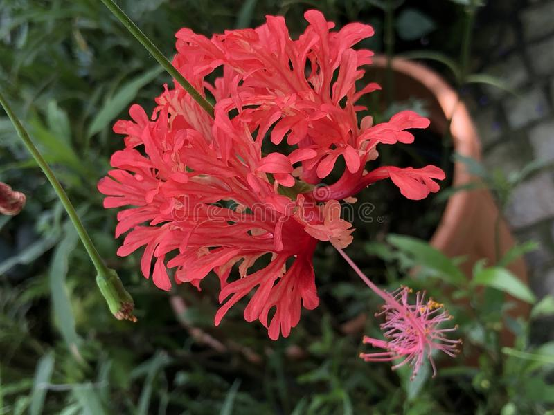 Fringed rosemallow, Japanese lantern, Coral hibiscus, Spider hibiscus or Hibiscus schizopetalus Flower Island Mainau. On the Lake Constance - Constance, Germany royalty free stock photos