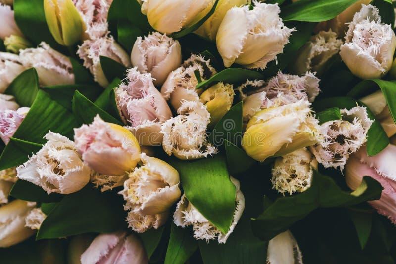 Fringed Tulips in flower garden. stock photos