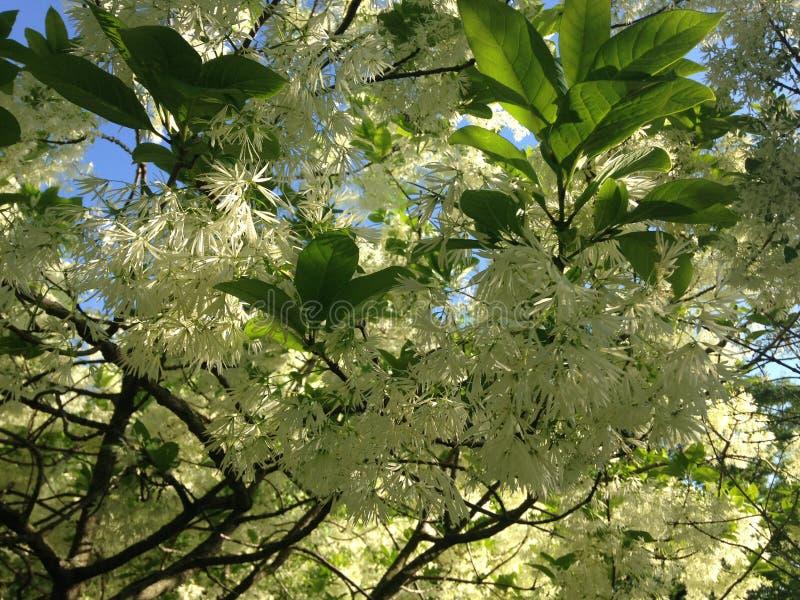 Fringetree blomning fotografering för bildbyråer