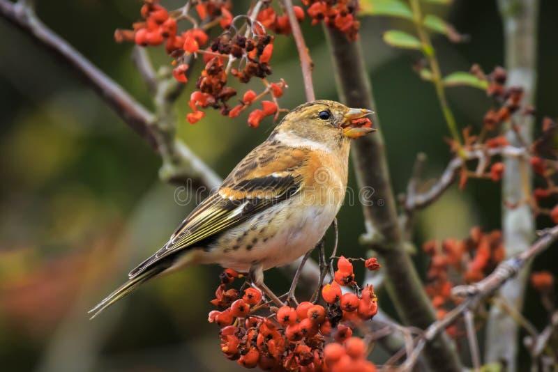 花鸡鸟,Fringilla montifringilla,在冬天全身羽毛哺养的莓果 免版税图库摄影