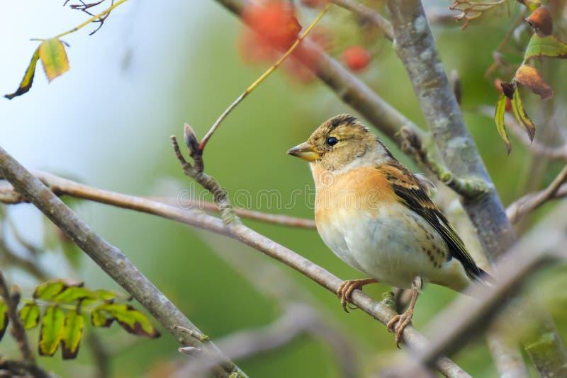 花鸡鸟,Fringilla montifringilla,在冬天全身羽毛哺养的莓果 免版税库存图片