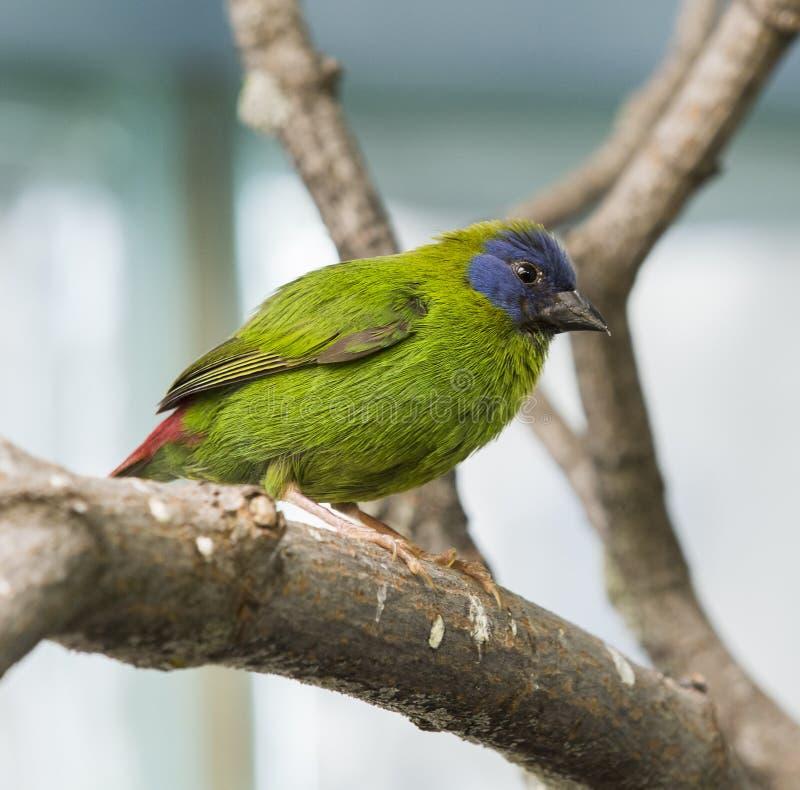 Fringillide affrontato blu del pappagallo fotografia stock