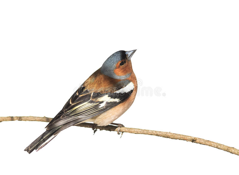 Fringuello dell'uccello che si siede nel parco su un ramo sul bianco isolato fotografia stock libera da diritti