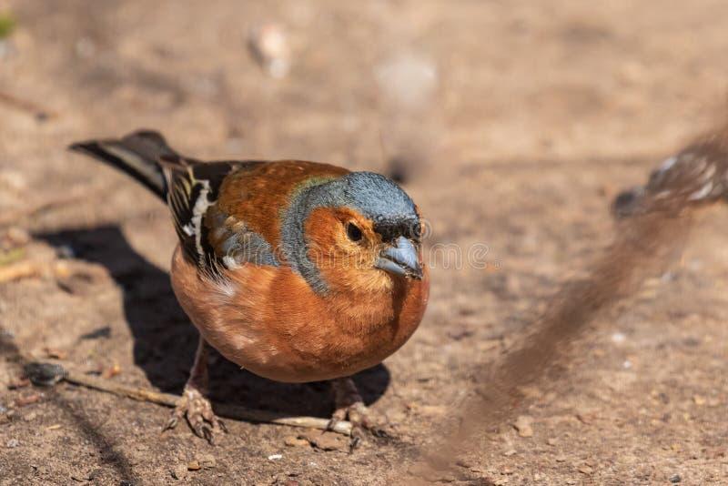 Fringuello, un uccello variopinto che cammina lungo la terra fotografia stock
