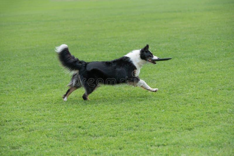 Frisbee собаки Коллиы границы заразительный в скачке внешней Селективный fo стоковые фото