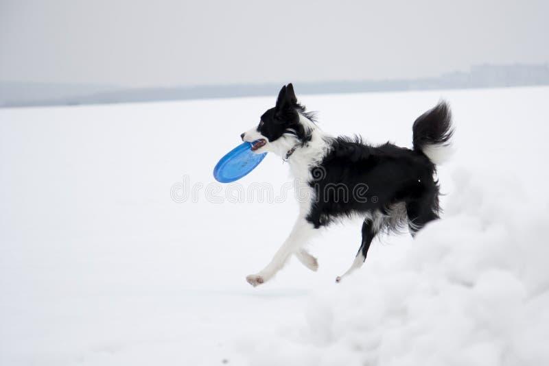 frisbee собаки стоковые фотографии rf