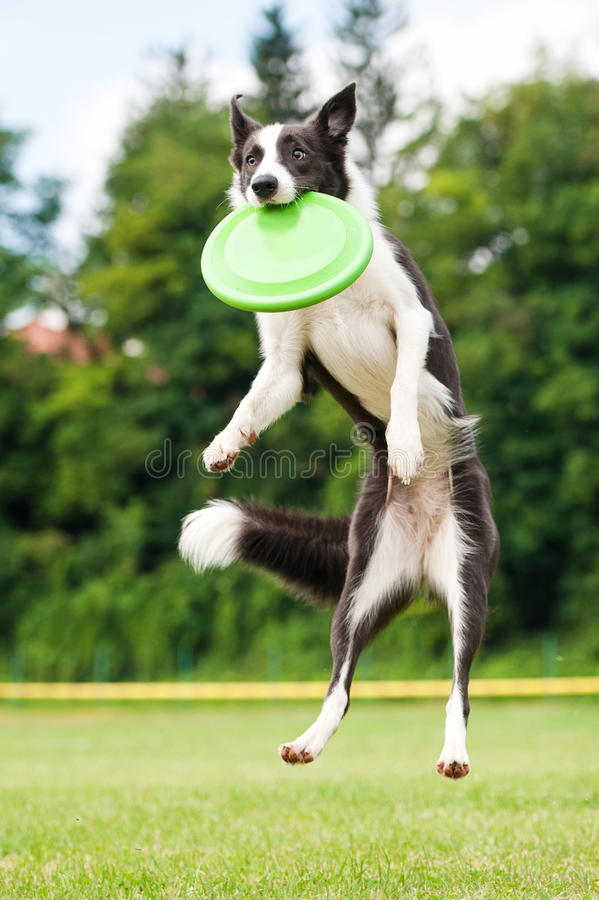 Frisbee de travamento do cão de border collie no salto imagens de stock royalty free