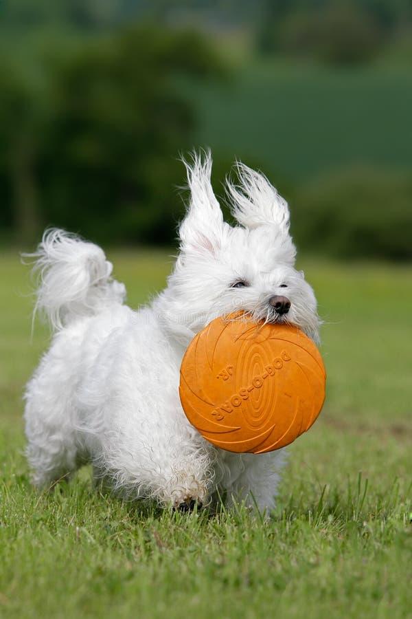 frisbee del cane fotografie stock libere da diritti
