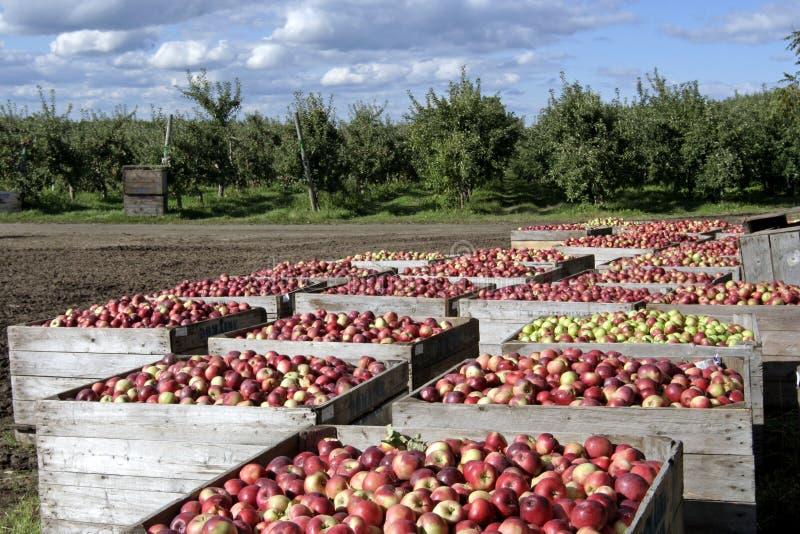 Frisch ausgewählte Äpfel stockfoto