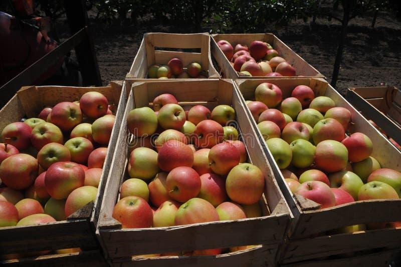 Frisch ausgewählte Äpfel lizenzfreies stockbild