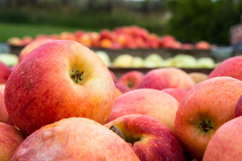 Frisch ausgewählte Äpfel in den Kisten lizenzfreie stockfotos