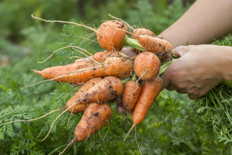 Frisch ausgewählte Karotten lizenzfreie stockbilder