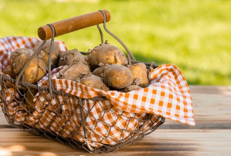Frisch erfasste Frühkartoffeln in einem Korb. lizenzfreies stockfoto