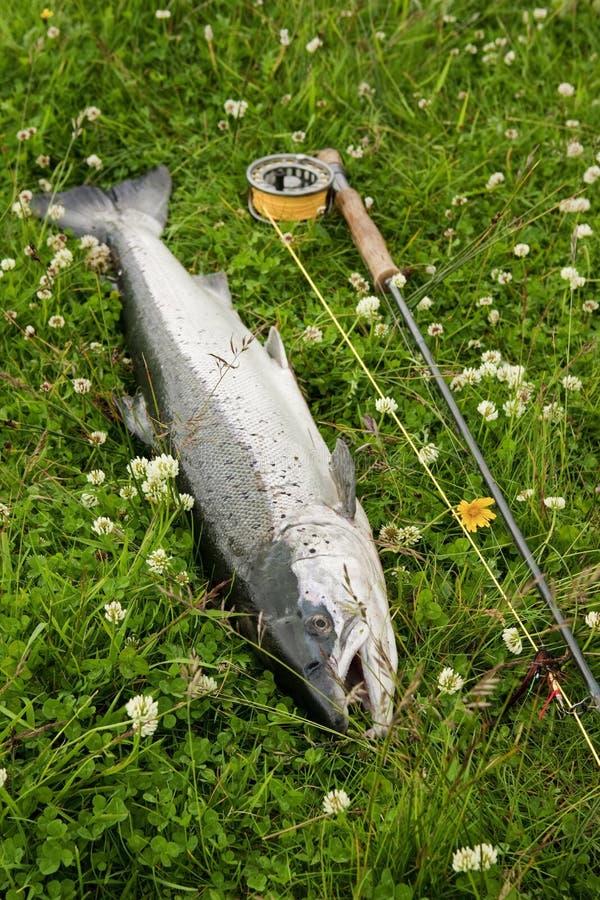 Frisch gefangene atlantische Lachse lizenzfreie stockbilder