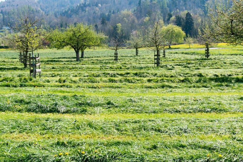 Frisch Schnittfelder und -wiesen mit blühenden jungen Obstbäumen in einem Obstgarten stockfotografie