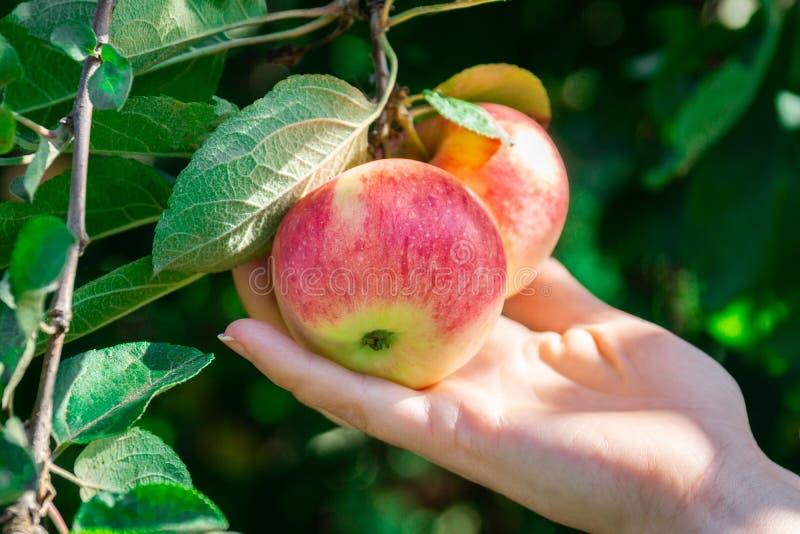 Frische Äpfel auf Apfelbäumen stockfoto