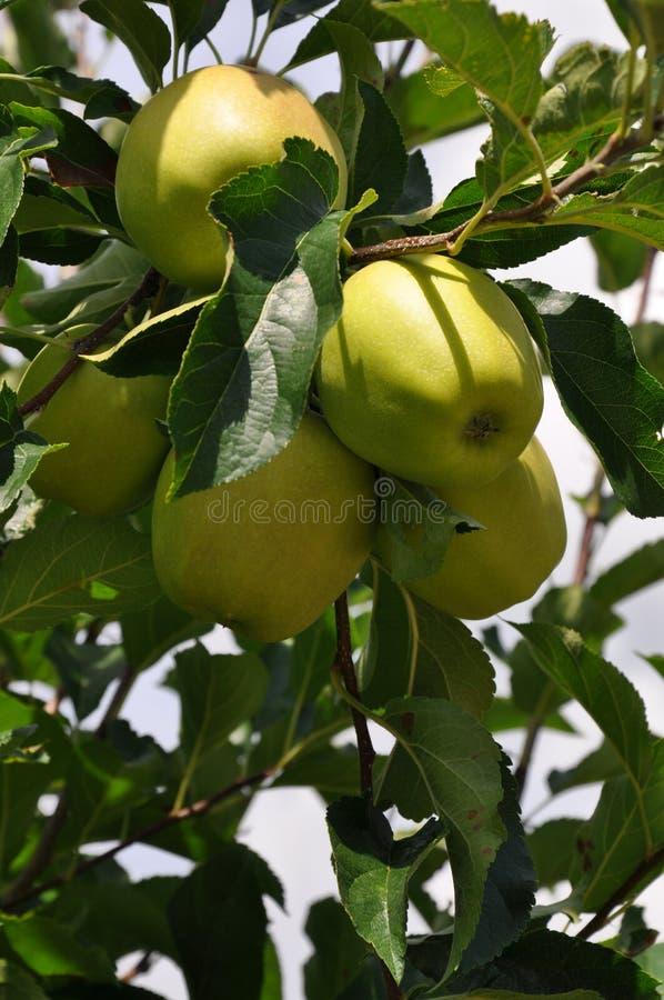 Frische Äpfel hervorgehoben durch Sonne lizenzfreie stockfotos