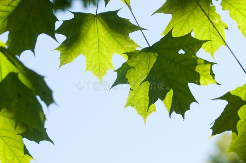 Frische Ahornblätter auf Himmel lizenzfreie stockfotografie