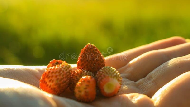 Frische alpine Erdbeeren stockbilder