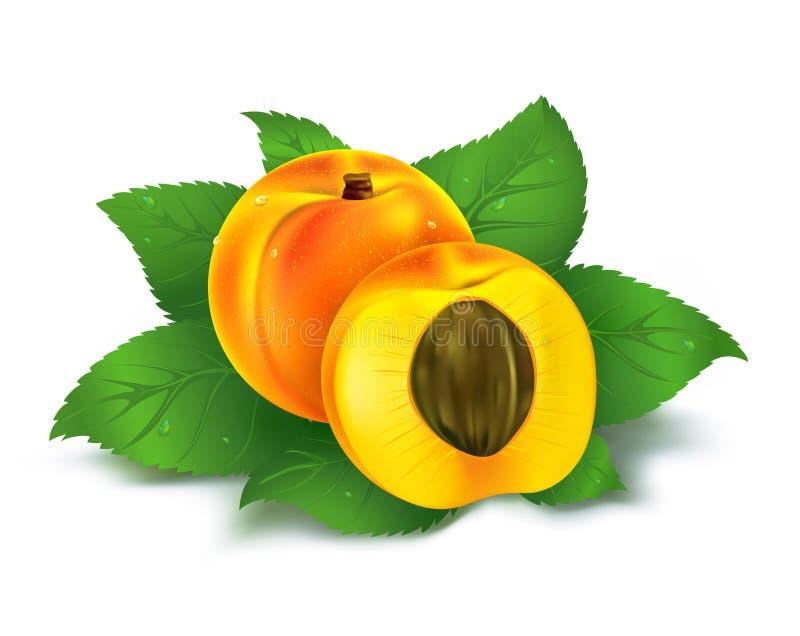 Frische Aprikosenfrucht mit Schnitt stock abbildung