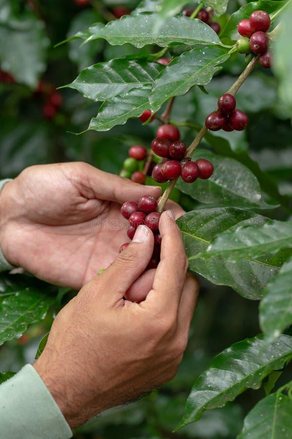 Frische Arabica-Kaffeebohnen, die auf Baum im Norden von Thailand reifen stockbilder