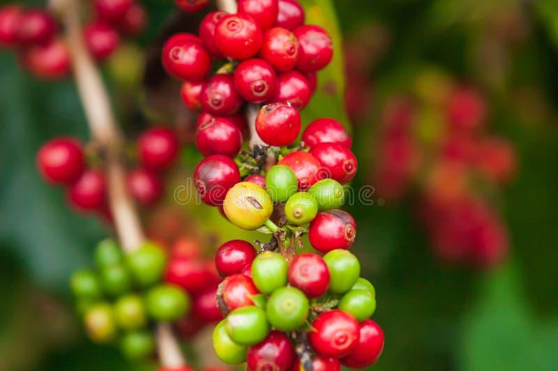 Frische Arabicakaffeekirschen auf dem Baum im Kaffee bewirtschaften, Bol stockfotos