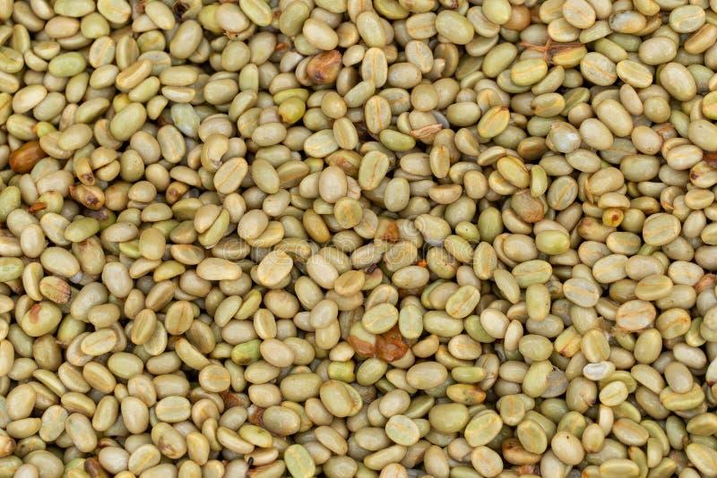 Frische Arabicakaffeekirschen Organischer Kaffebauernhof stockbilder