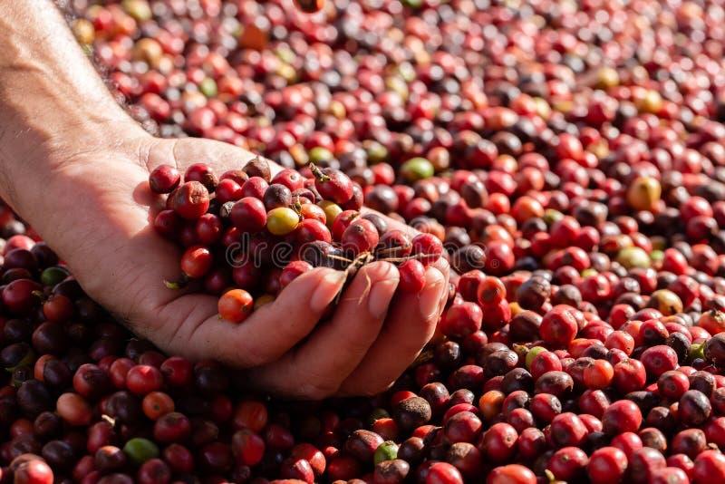 Frische Arabicakaffeekirschen Organischer Kaffebauernhof lizenzfreie stockfotografie