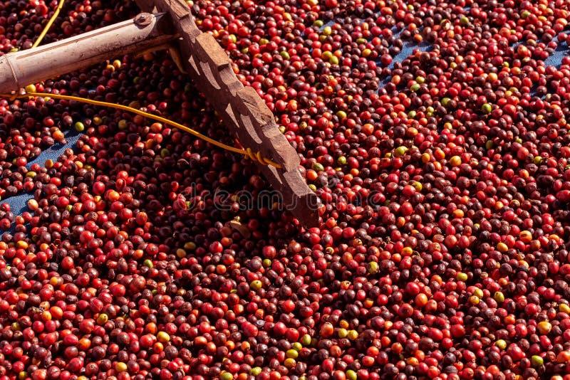 Frische Arabicakaffeekirschen Organischer Kaffebauernhof lizenzfreies stockfoto