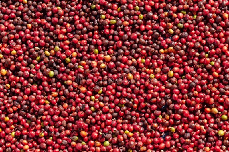 Frische Arabicakaffeekirschen Organischer Kaffebauernhof lizenzfreie stockbilder