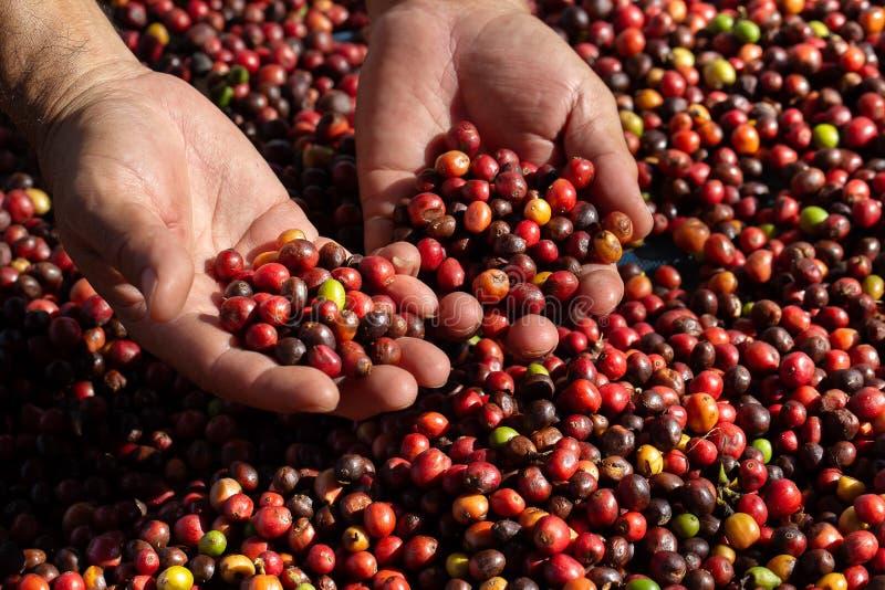 Frische Arabicakaffeekirschen Organischer Kaffebauernhof lizenzfreie stockfotos