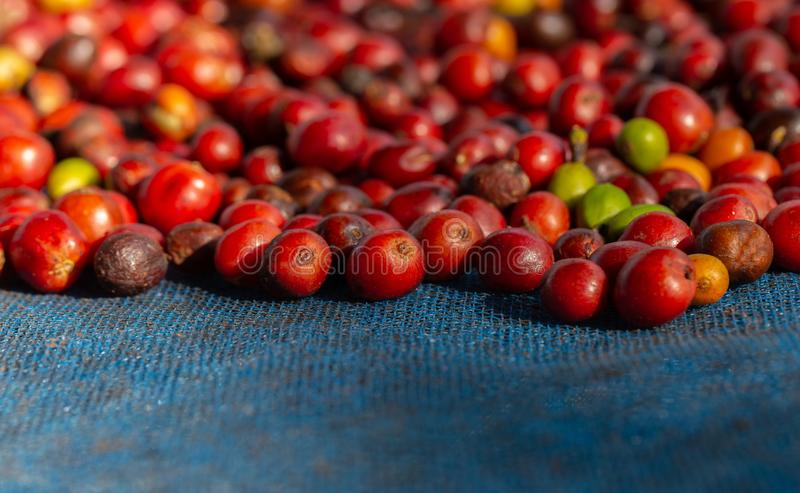 Frische Arabicakaffeekirschen Organischer Kaffebauernhof stockfotografie