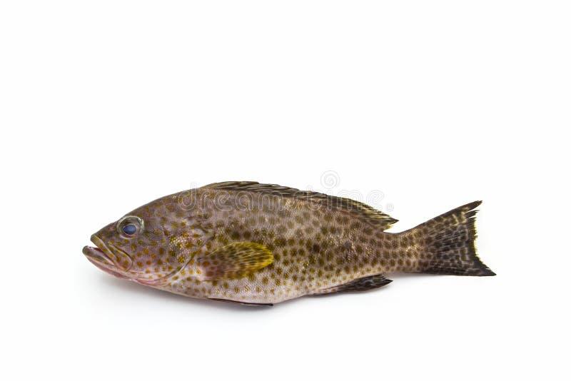 Frische areolate Fische des Barsches (Epinephelus areolatus) stockbild
