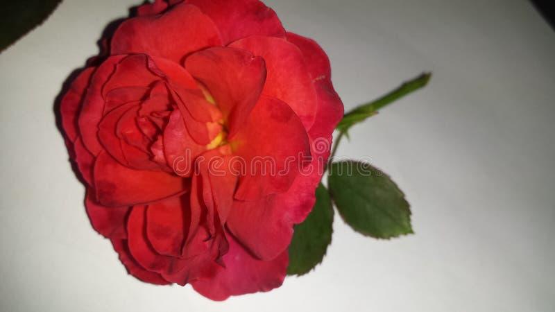 Frische ausgewählte Blume der Rotrose stockfotos