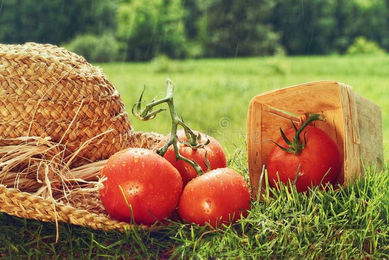Frische ausgewählte Tomaten mit Gartenhut auf Gras stockbild