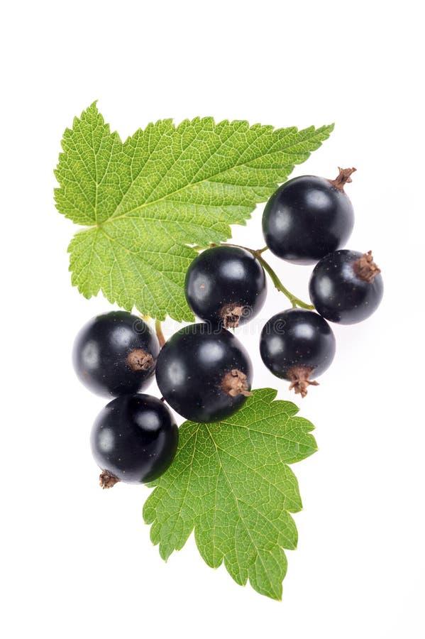 Frische Beeren der schwarzen Johannisbeere mit den Blättern lokalisiert stockbilder