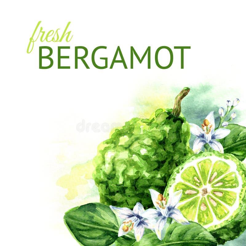 Frische Bergamotte mit Blättern und Blumenhintergrund Gezeichnete Illustration des Aquarells Hand stock abbildung
