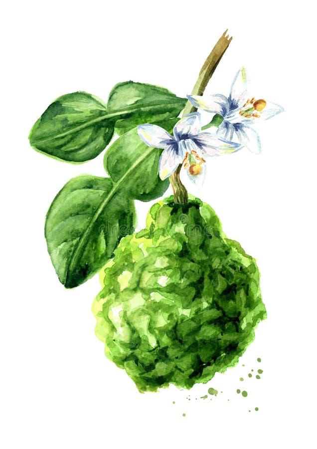 Frische Bergamottenfrucht auf der Niederlassung Gezeichnete Illustration des Aquarells Hand, lokalisiert auf wei?em Hintergrund stock abbildung