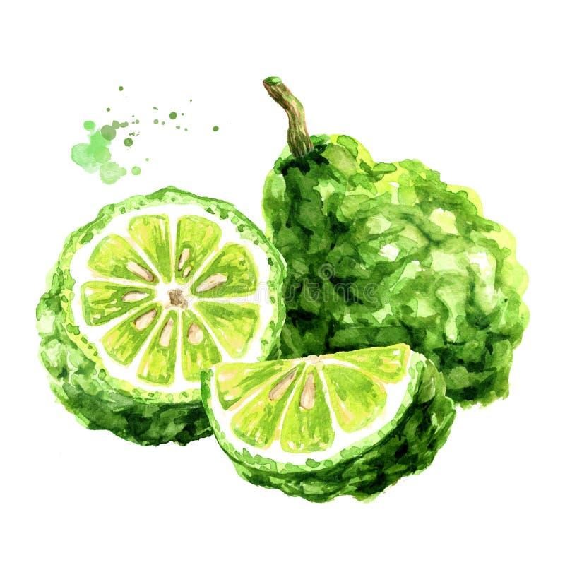 Frische Bergamottenfrucht Gezeichnete Illustration des Aquarells Hand, lokalisiert auf wei?em Hintergrund lizenzfreie abbildung