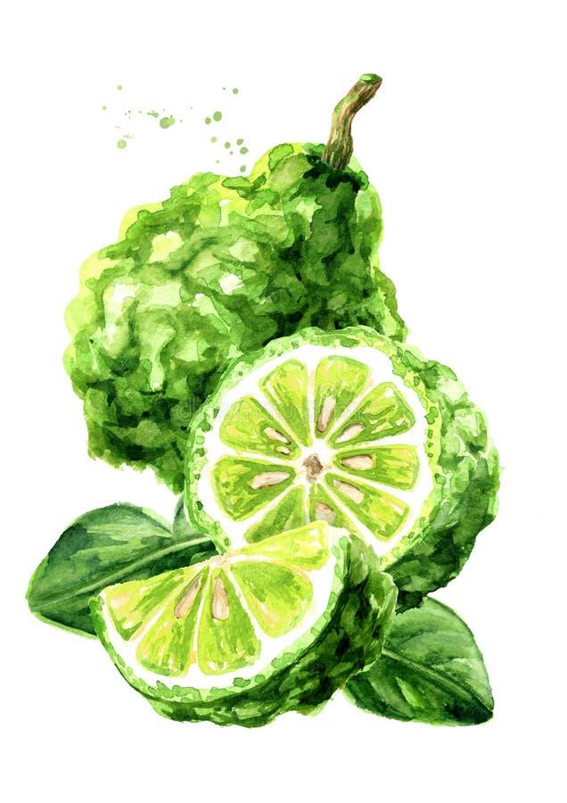 Frische Bergamottenfrucht mit Blättern Gezeichnete Illustration des Aquarells Hand, lokalisiert auf wei?em Hintergrund lizenzfreie abbildung