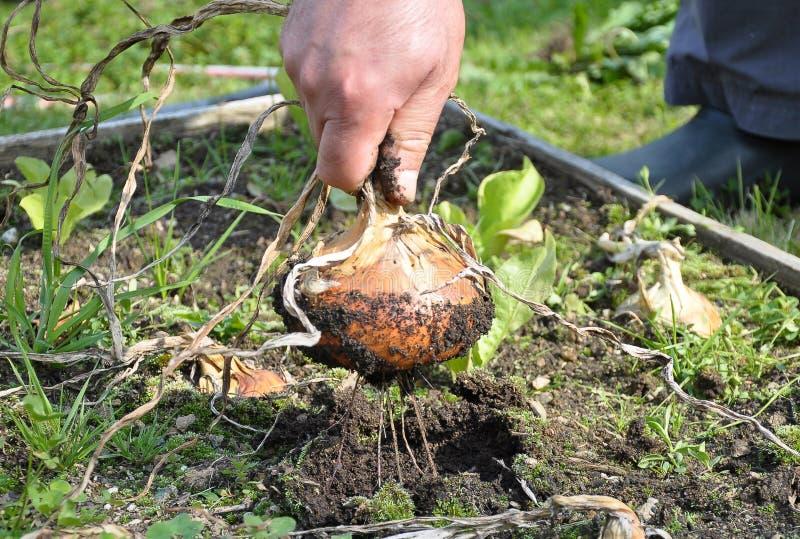 Frische Birnenzwiebel im Garten lizenzfreies stockfoto