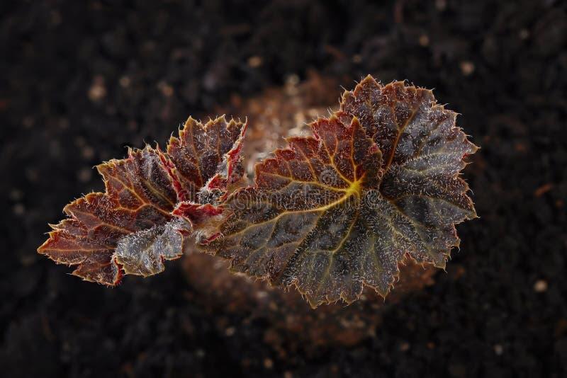 Frische Blätter der Begonie auf dem Hintergrund des fruchtbaren Bodens Ansicht lizenzfreie stockbilder