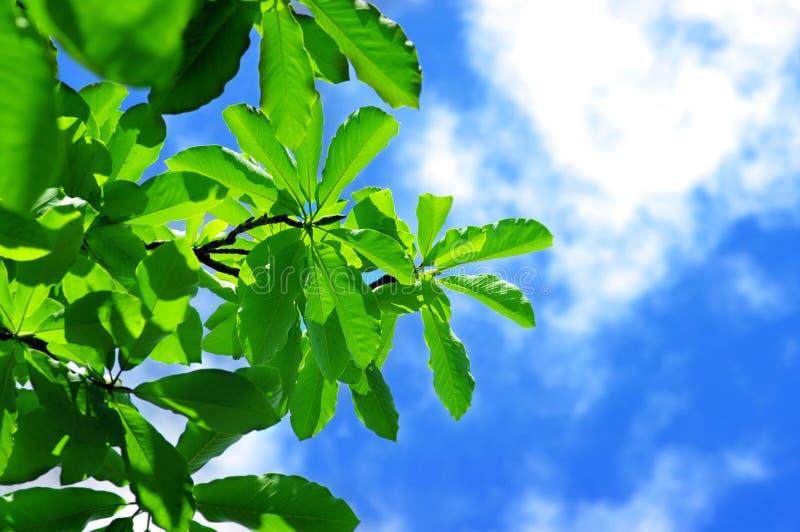 Frische Blätter der Magnolie stockfotos