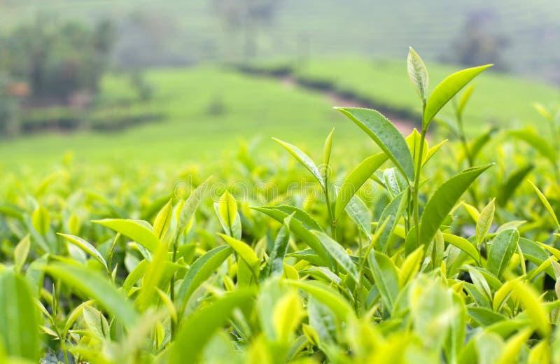 Frische Blätter des Abschlusses des grünen Tees oben lizenzfreie stockfotografie