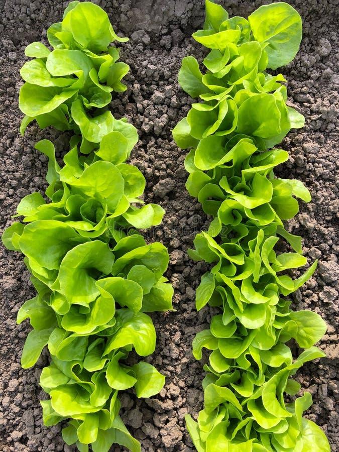 Frische Blätter des grünen Kopfsalatsalats, der im Boden im Garten wächst f stockfoto