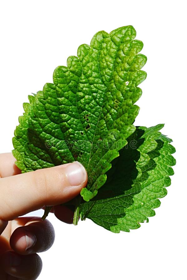 Frische Blätter des Melissenkrauts Melissa Officinalis hielten in der linken Hand des jungen Mädchens, weißer Hintergrund lizenzfreies stockfoto