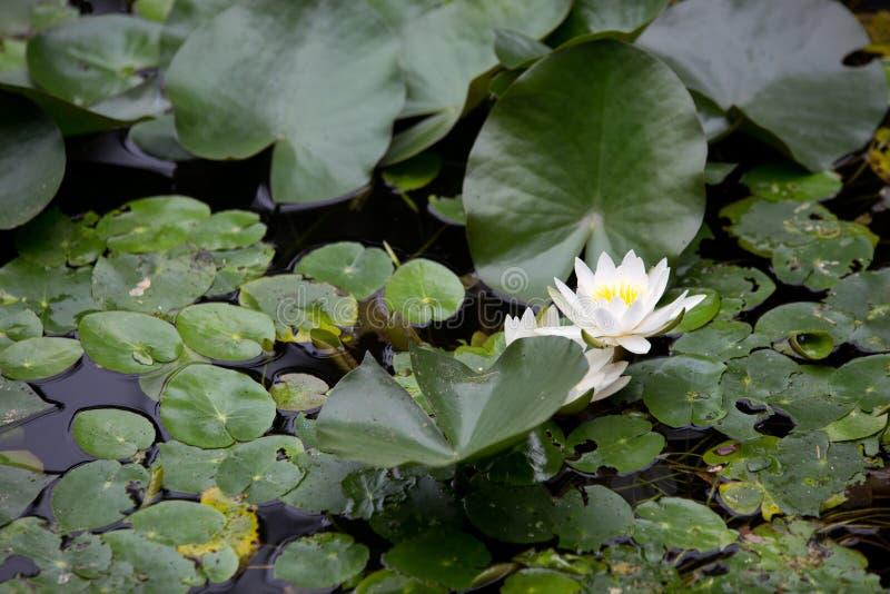 Frische blühende Lotosblume, die auf ruhige Wassergartenoberfläche im Freien schwimmt stockfoto